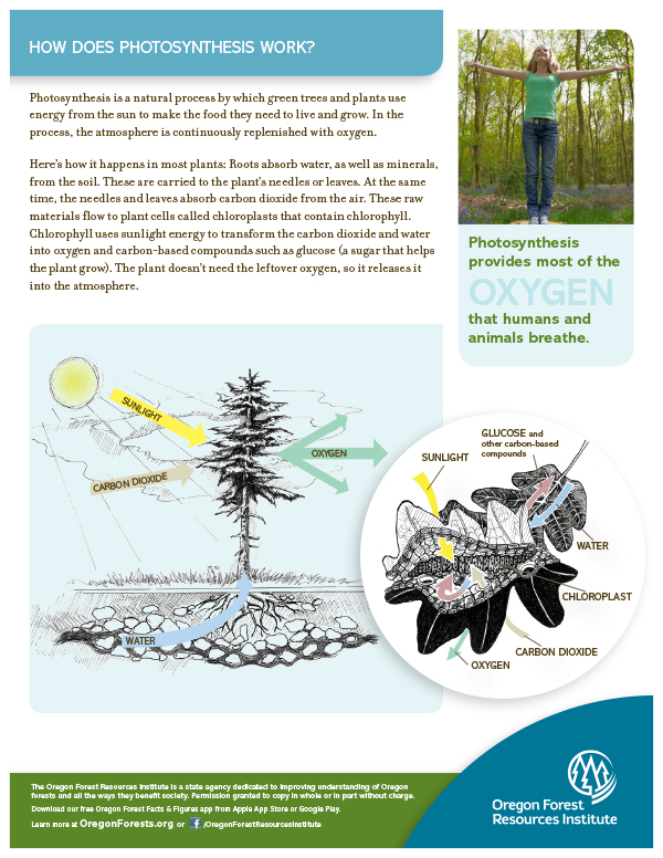 Forest Fact Sheet-Photosynthesis